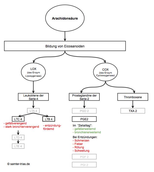 Grafische Darstellung der Umwandlung von Arachidonsäure zu Eicosanoiden