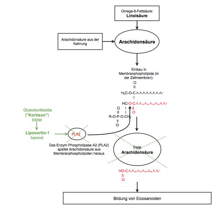 Grafische Darstellung der Hemmung von Phopholipase A2 durch Glukokortikoide im Arachidonsäsurestoffwechsel