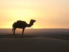 Kamel aus dem Land des Couscous