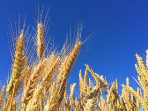 Roggenfeld: salicylsäurearmes Getreide